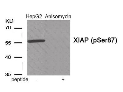 XIAP (phospho Ser87) Antibody