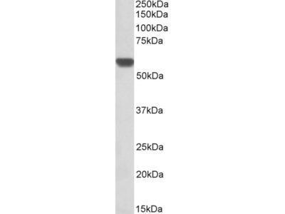GPI / Neuroleukin Antibody