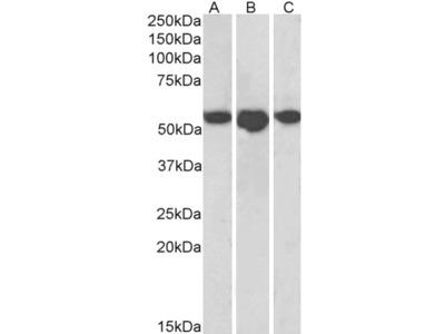 ENT1 Antibody
