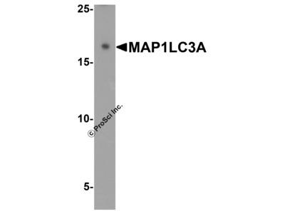 MAP1LC3A Antibody