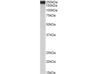 filamin A Antibody