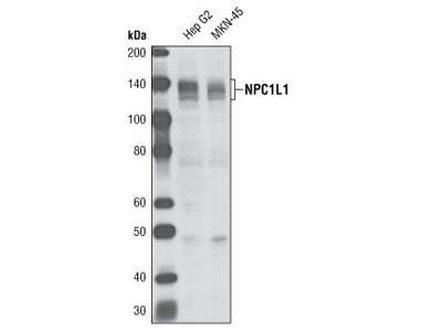 NPC1L1 Antibody