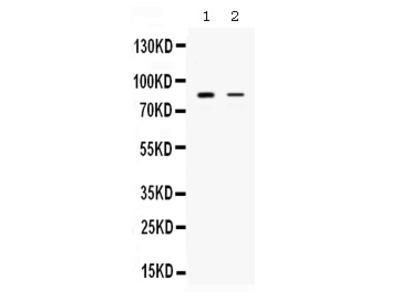 Anti-SMURF1 Picoband Antibody