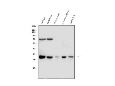 Anti-Cathepsin G/CTSG Picoband Antibody