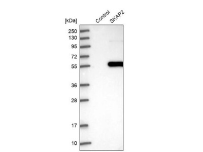 SCAP2 Antibody