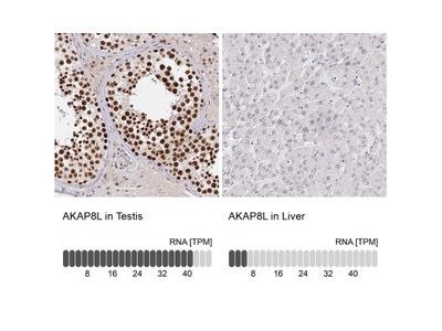 HA95 / AKAP8L Antibody