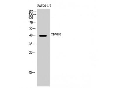 PHLDA1 Antibody