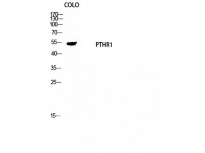 PTHR / PTHR1 Antibody