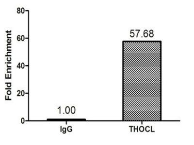 p84 / THOC1 Antibody