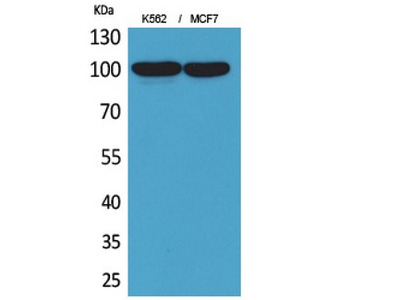 ENPP3 / CD203c Antibody