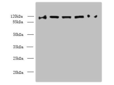 COPB1 Antibody
