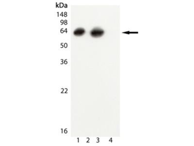 GroEL (E Coli) monoclonal antibody (9A1/2)