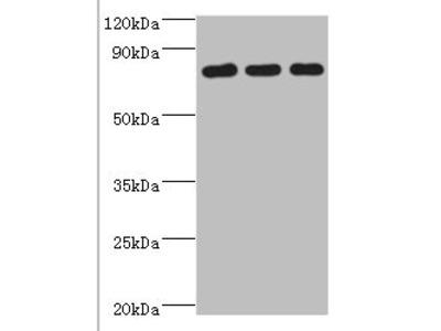 Rabbit anti-human CXXC-type zinc finger protein 1 polyclonal Antibody(CXXC1)