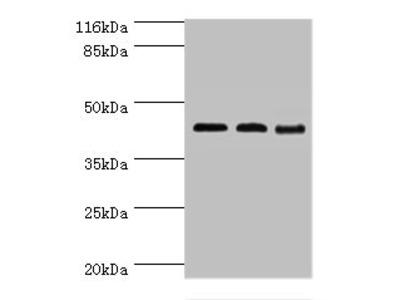 Rabbit anti-human Branched-chain-amino-acid aminotransferase, mitochondrial polyclonal Antibody