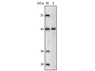 SorLA Antibody (3B6B11)