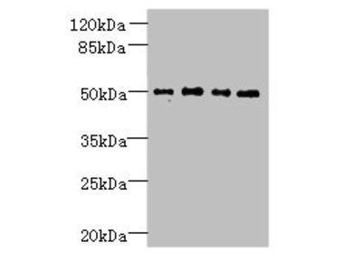 TTC38 Antibody