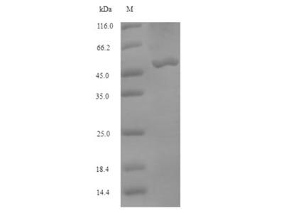Recombinant Bovine Bifunctional methylenetetrahydrofolate dehydrogenase/cyclohydrolase, mitochondrial