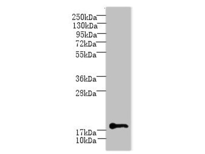 C1orf123 Antibody