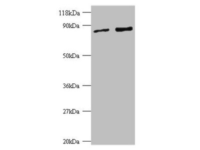 Rabbit anti-human Ras-related protein Rab-1A polyclonal Antibody
