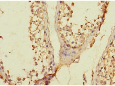 SLC36A3 Antibody