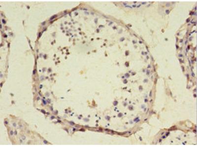 SRSF10 Antibody
