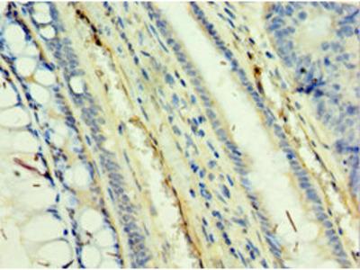 Rabbit anti-human TAF5L polyclonal Antibody