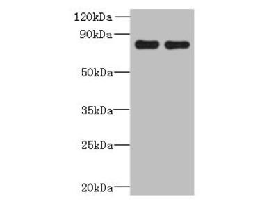 ACTR8 Antibody