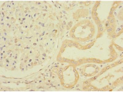PPIAL4G Antibody