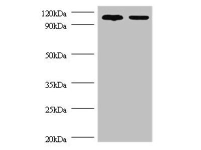 Rabbit anti-human Exostosin-like 3 polyclonal Antibody