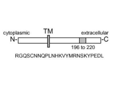 FasL (mouse) monoclonal antibody (H11) (biotin conjugate)
