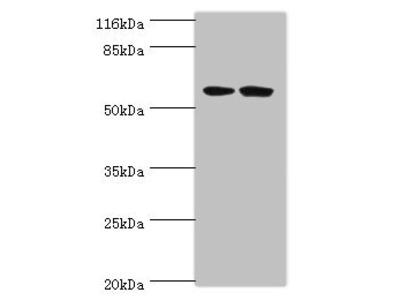 DCAF4 Antibody
