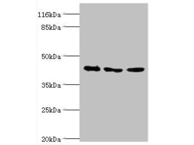 ATXN3 Antibody