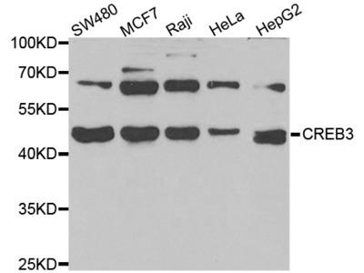 CREB3 Polyclonal Antibody