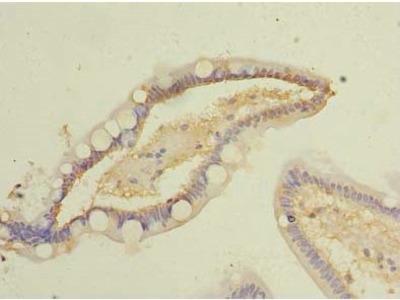 COMMD9 Antibody