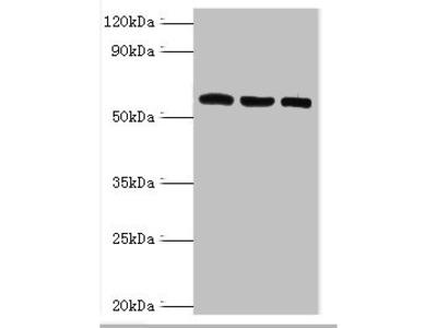 Rabbit anti-human Thioredoxin reductase 2, mitochondrial polyclonal Antibody(TXNRD2)