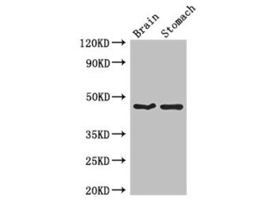 TBC1D20 Antibody