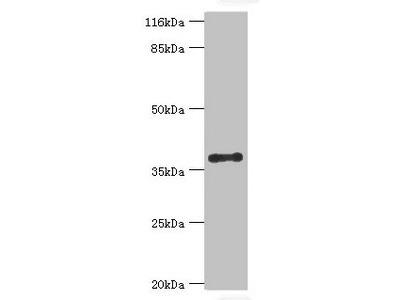 CYLC2 Antibody
