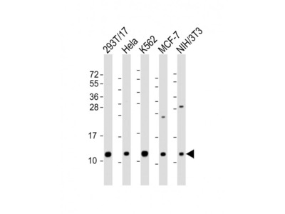 LSM2 Antibody (C-Term)