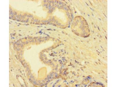 TMEM52B Antibody