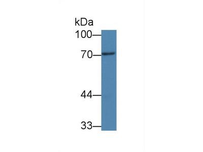 Peptidyl Arginine Deiminase Type III (PADI3) Monoclonal Antibody
