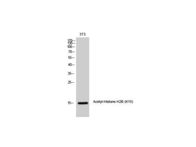 Acetyl-Histone H2B (K15) Polyclonal Antibody