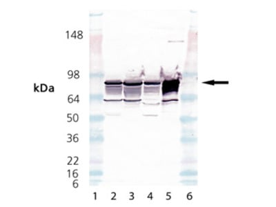 Cytochrome P450 Reductase polyclonal antibody