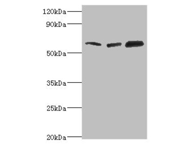 Rabbit anti-human TOMM70A polyclonal Antibody