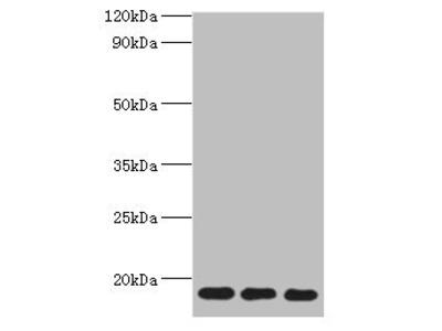 NAA50 Antibody