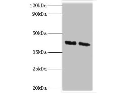 COPS4 Antibody