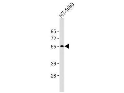 NPRL3 Antibody (N-Term)