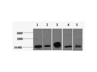 Histone H2B Monoclonal Antibody