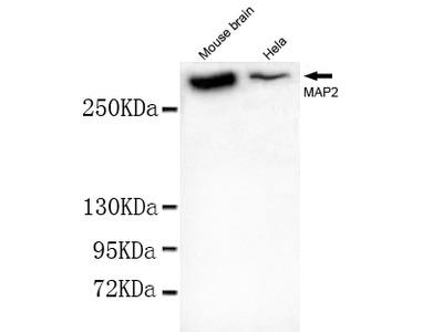 MAP2 (N-terminus) Antibody