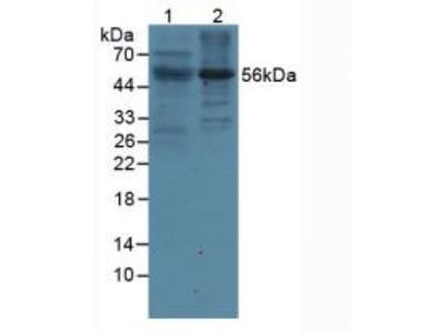 Leukocyte Immunoglobulin Like Receptor Subfamily B, Member 2 (LILRB2) Polyclonal Antibody