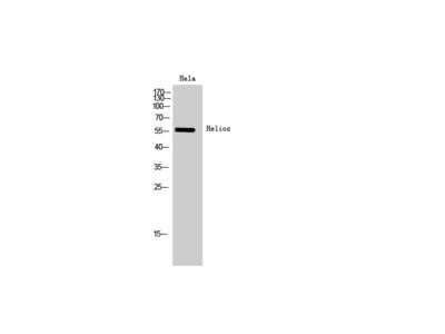 Helios Polyclonal Antibody